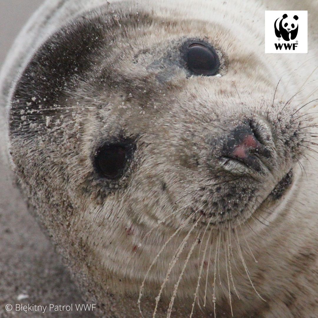 This year's first seals have appeared over the Baltic Sea